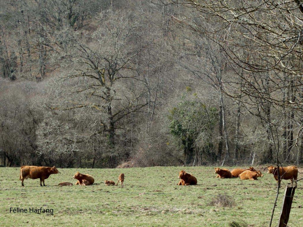 vaches et veaux de fresselines