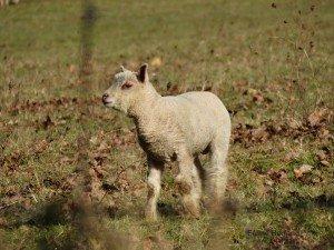 agneau du pechereau3