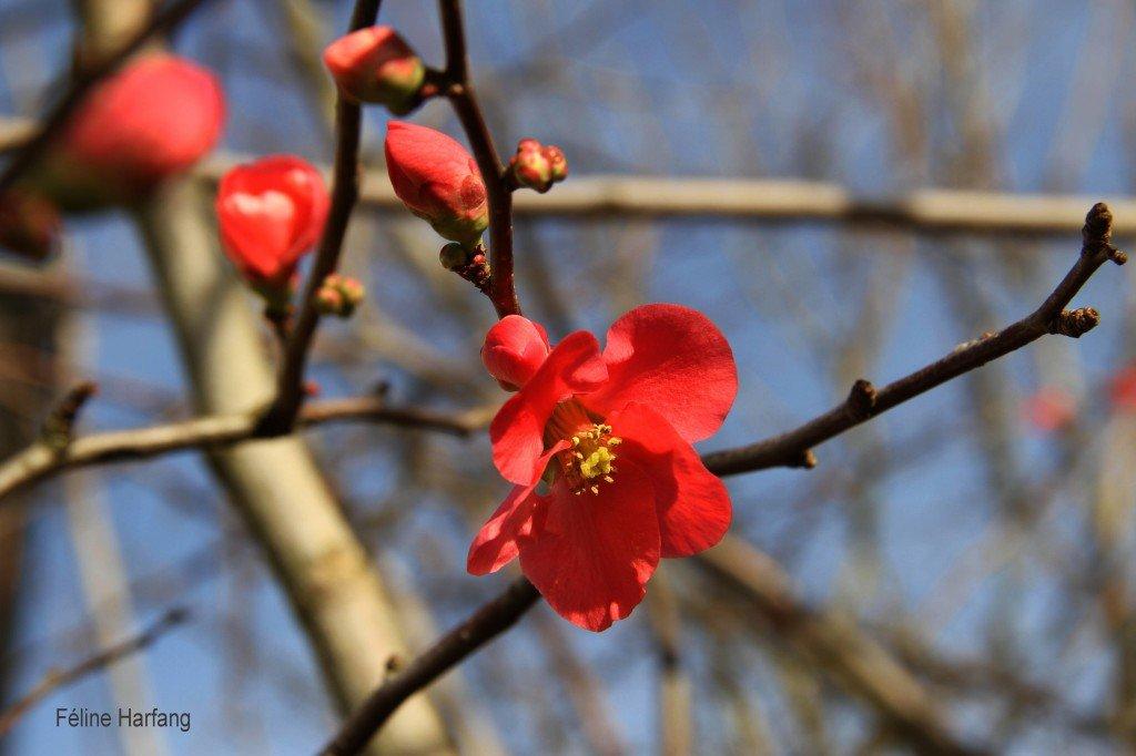 fleur de figuier