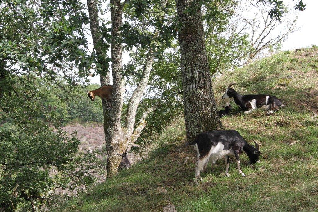 chèvres de Crozant les Ruines photo Féline Harfang septembre 2017 copyright